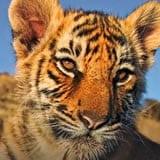 Tiger Protector
