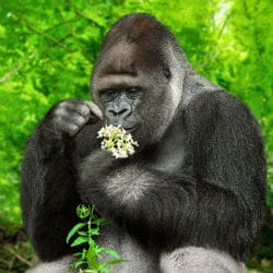 mountain gorilla 1