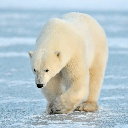 New Home Could Be Found For Sad Polar Bear