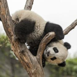 Giant Panda Cub Is Named At The Smithsonian National Zoo