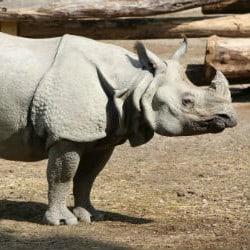 Rare Sumatran Rhino Discovered In Borneo
