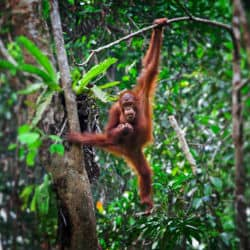 Indonesian Wildfires Threatening Orangutans Of Borneo