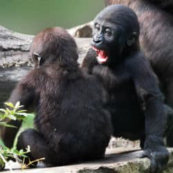 Conservationists Thrilled With Arrival Of Habituated Western Gorilla Twins