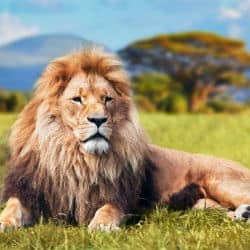 Lions On The Lose In Nairobi