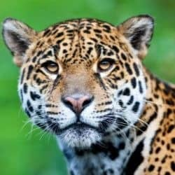jaguar conservation