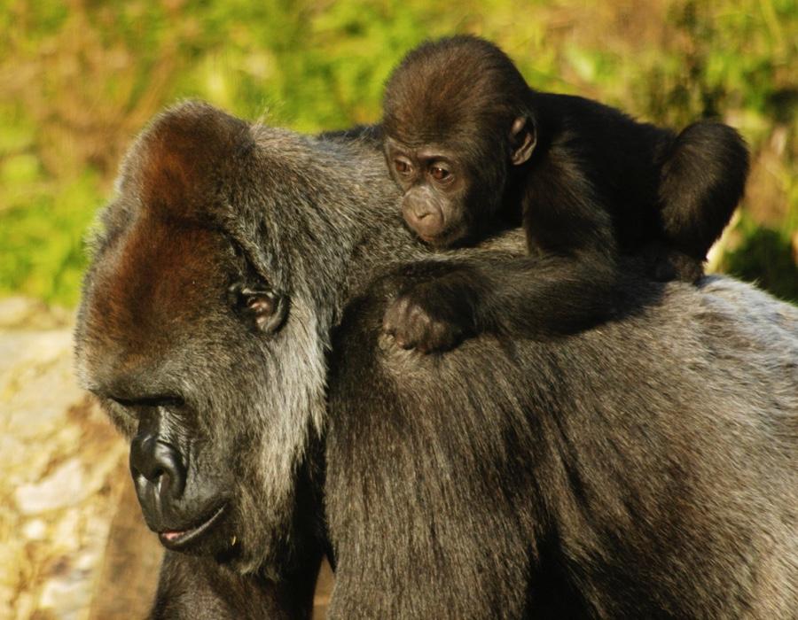 Mountain Gorilla Facts