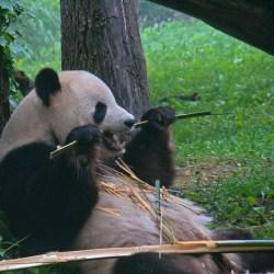Horses Latest Threat To Panda Habitat