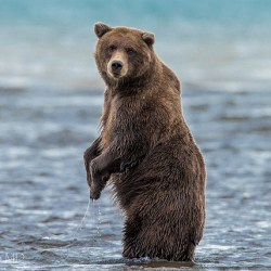 New Study Finds Grizzly Bears Able To Use Tools